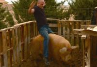 Steve is offered a hog named Mabel