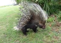 The porcupine surfaces