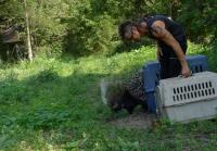 Billy releases porcupines into wild
