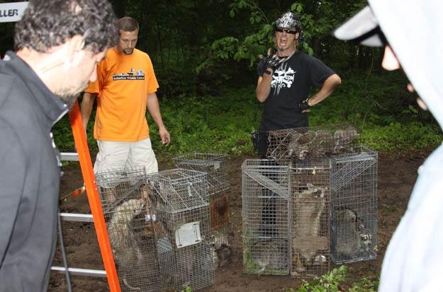 Billy and  Suburban Wildlife Control  prep raccoons for release