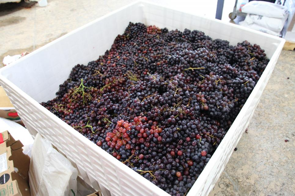 Grapes are ready for winemaking