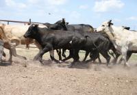 Jennifer wins bid to ship rodeo bulls