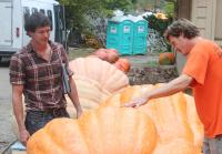 Pumpkin Buyer Inspects Pumpkins